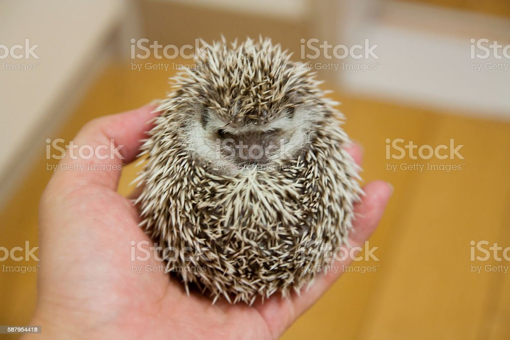 Rounded on the hand, baby hedgehog stock photo