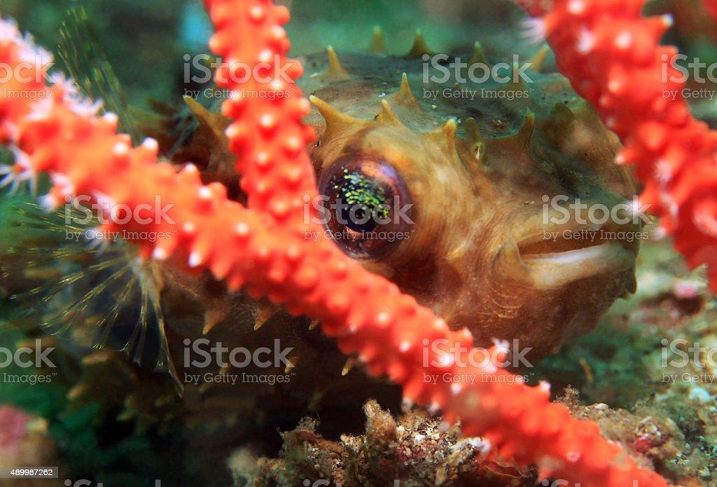 Rounded Porcupinefish stock photo