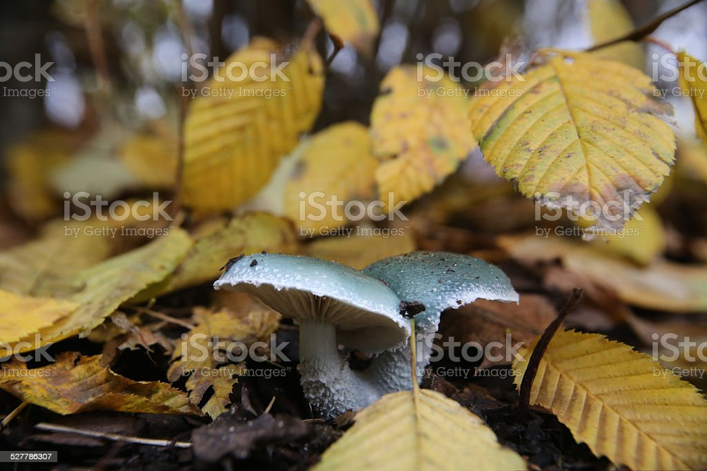 Roundhead Under Leaves stock photo