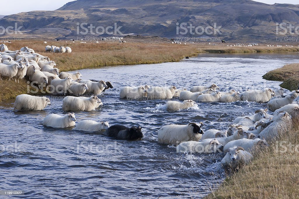 Rounding up of sheep in Iceland stock photo
