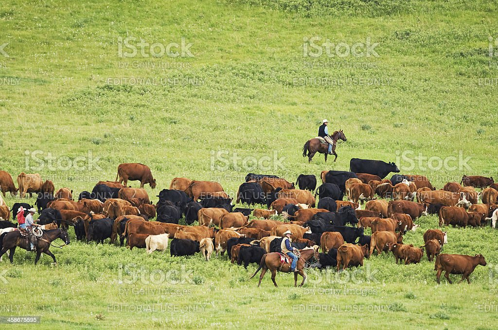 Rounding up the Herd stock photo