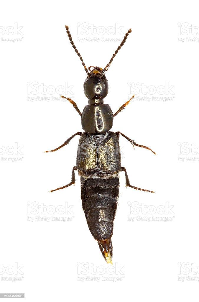 Rove Beetle Philonthus on white Background stock photo