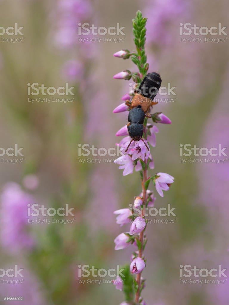 Rove Beetle - Platydracus stercorarius stock photo