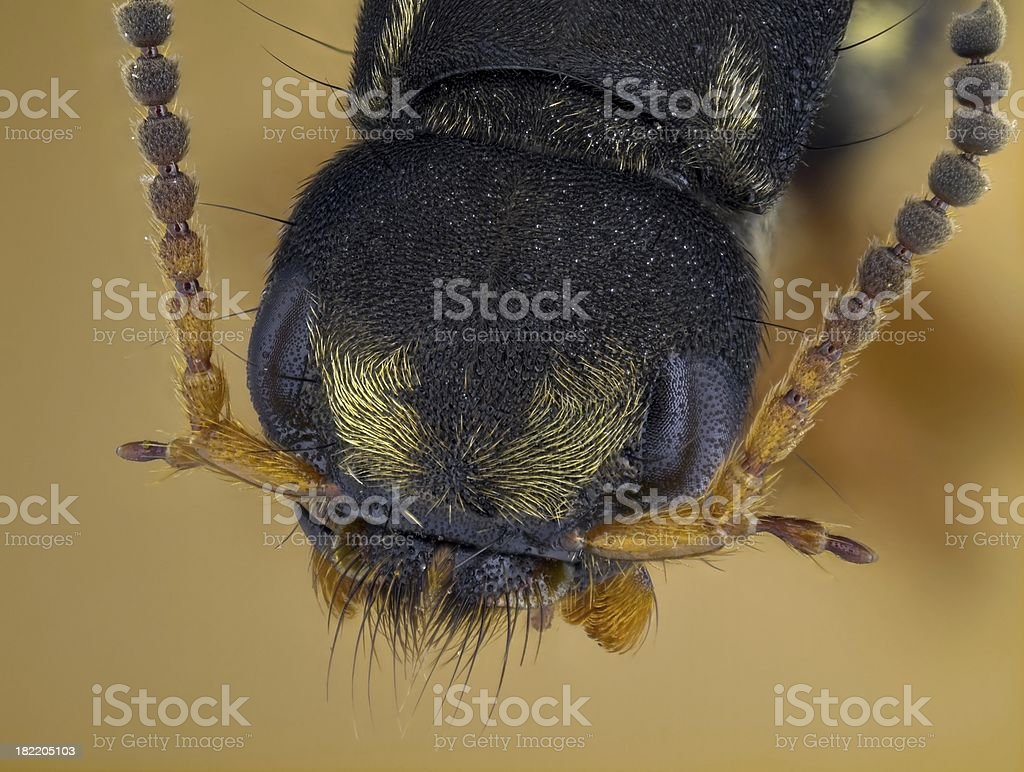 Rove beetle portrait (Staphylinus dimidiaticornis) stock photo