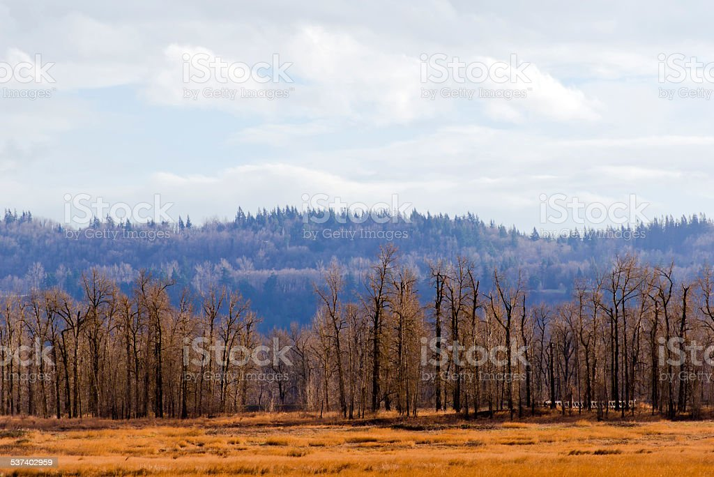 Row bare winter trees in middle yellow meadow hill forests stock photo