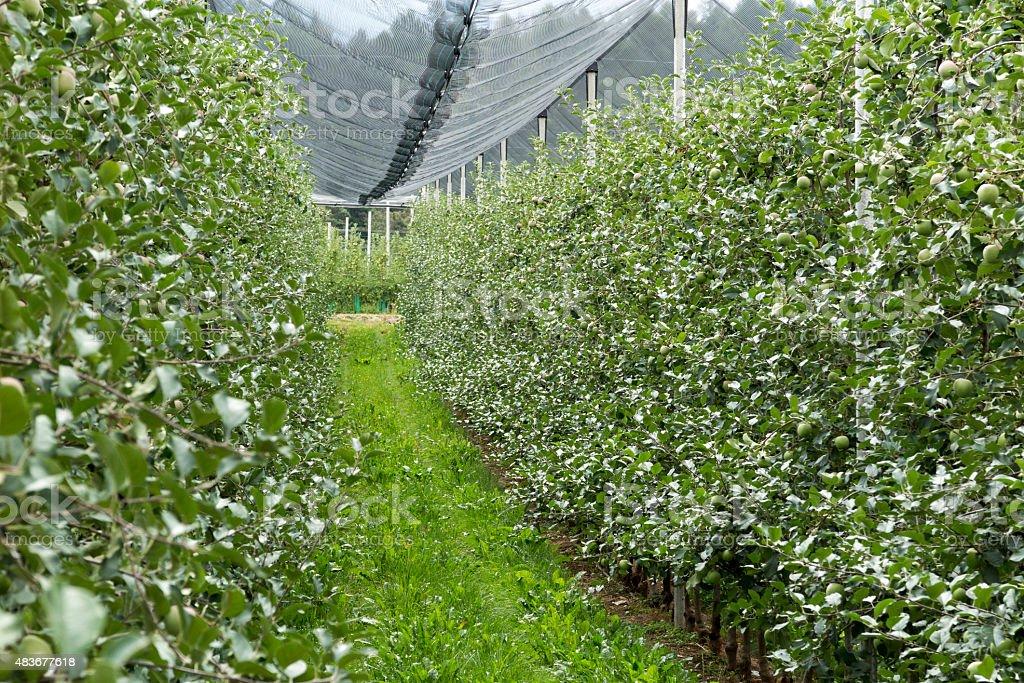 Row Of Apple Trees stock photo