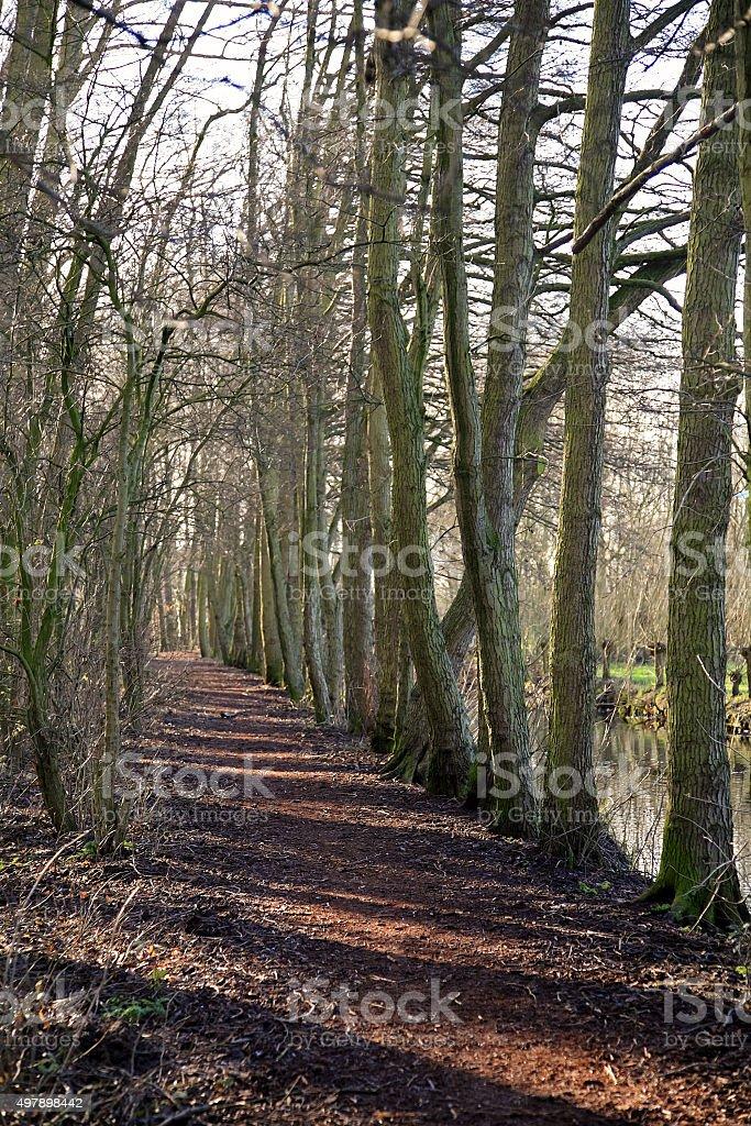 Row of bare Common Alder trees stock photo