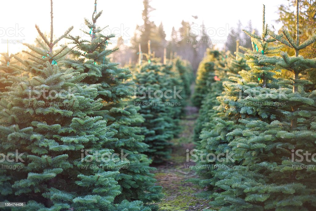 Row of Beautiful and Vibrant Christmas Trees stock photo