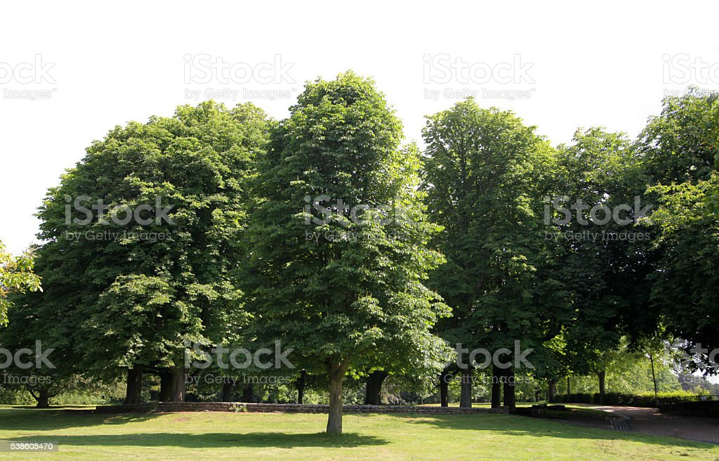 Row of beautiful trees isolated on white stock photo