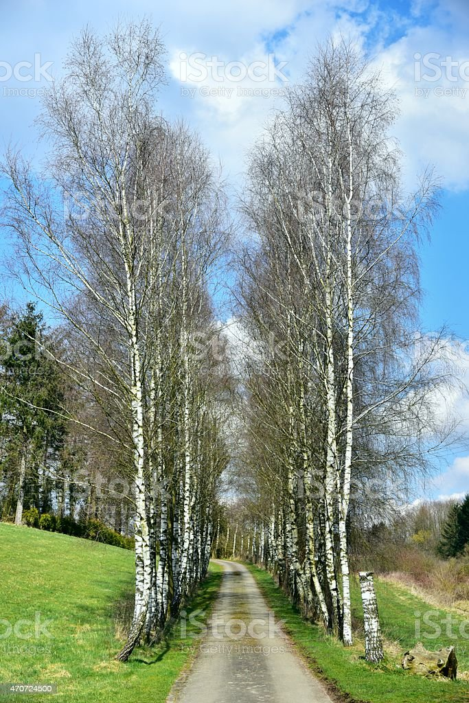 Row of Birches in Spring stock photo