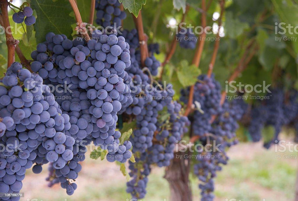 Row of Blue Fruit Grapes Still on Vines Farmers Vineyard stock photo