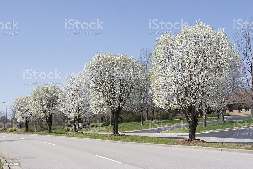 Row of Bradford Pear Trees in Spring stock photo