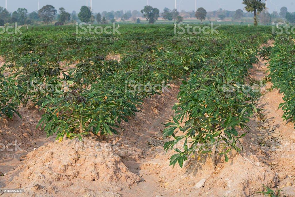 row of cassava plantation stock photo