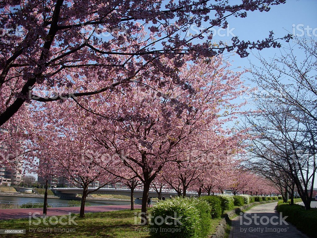 Row of cherry blossom trees stock photo