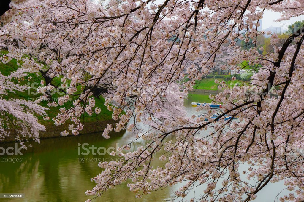 Row of cherry blossom trees with reflection in water, morning, Tokyo, Sakura stock photo