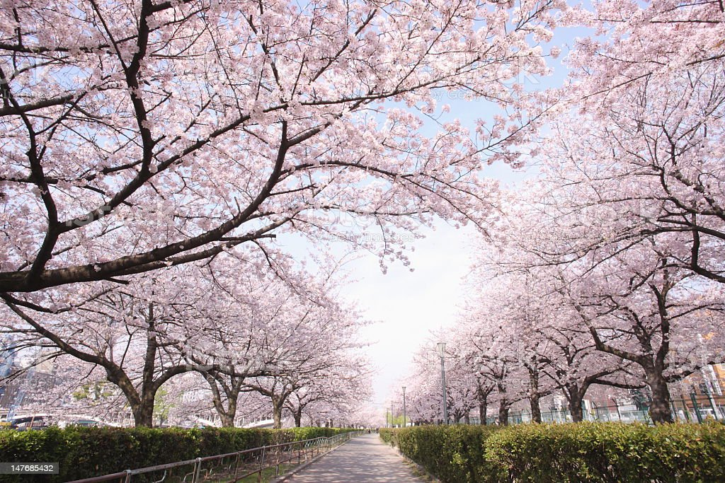 Row of cherry blossoms stock photo