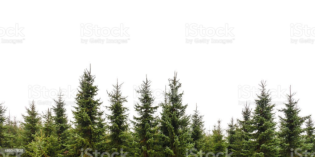 Row of Christmas pine trees isolated on white stock photo