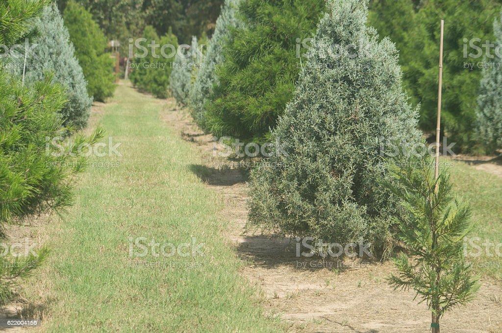 Row of Christmas Trees stock photo