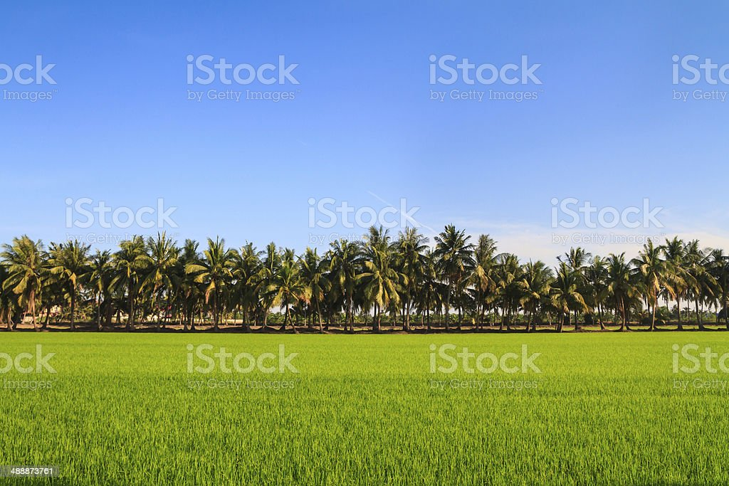 Row of coconut palm trees next to the rice field stock photo