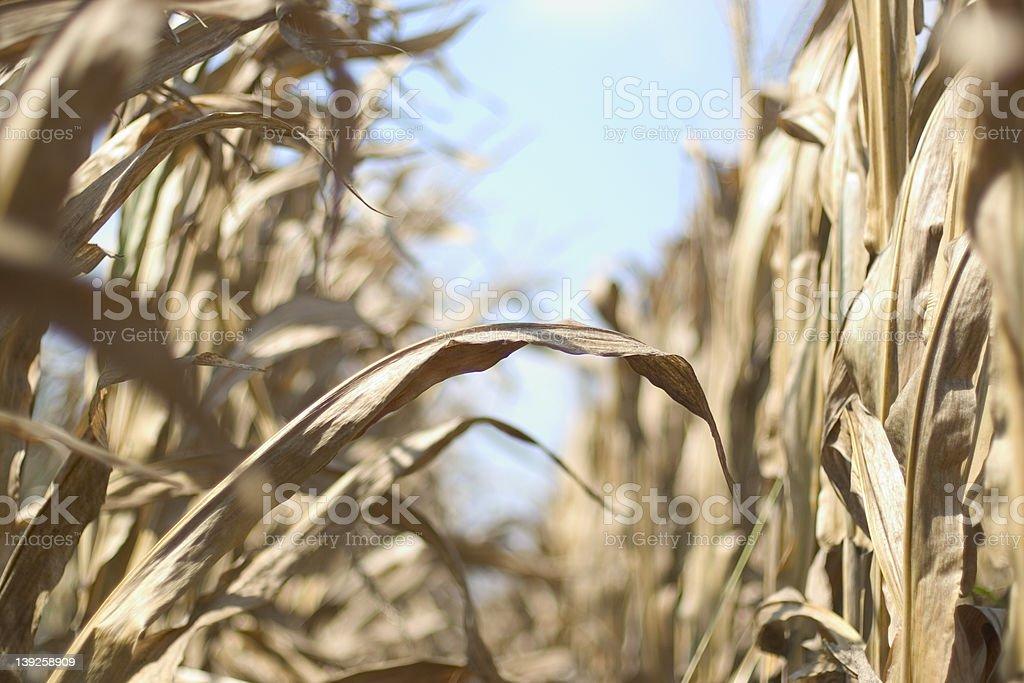 Rangée de maïs photo libre de droits