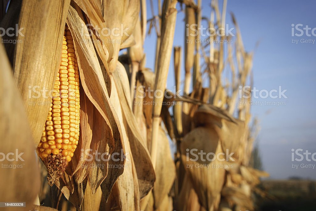 Row of Corn stock photo
