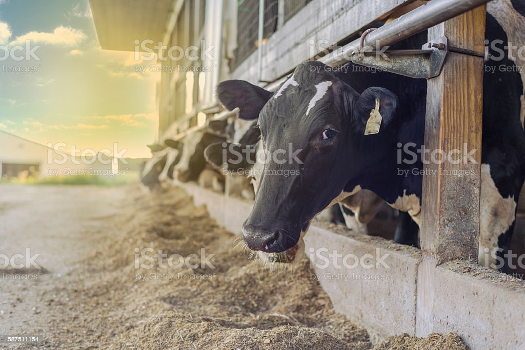 row of cows on farm - one looking at camera stock photo