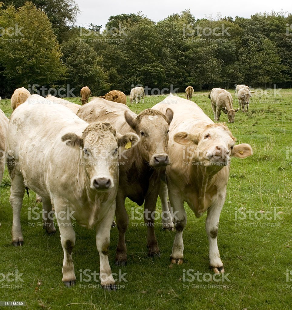 Row of cows royalty-free stock photo