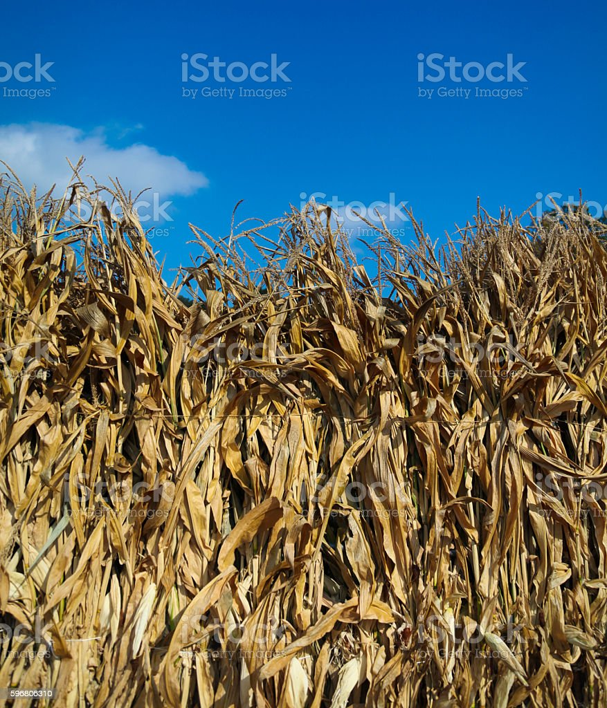 Row of dried bundled corn stalks and blue sky stock photo