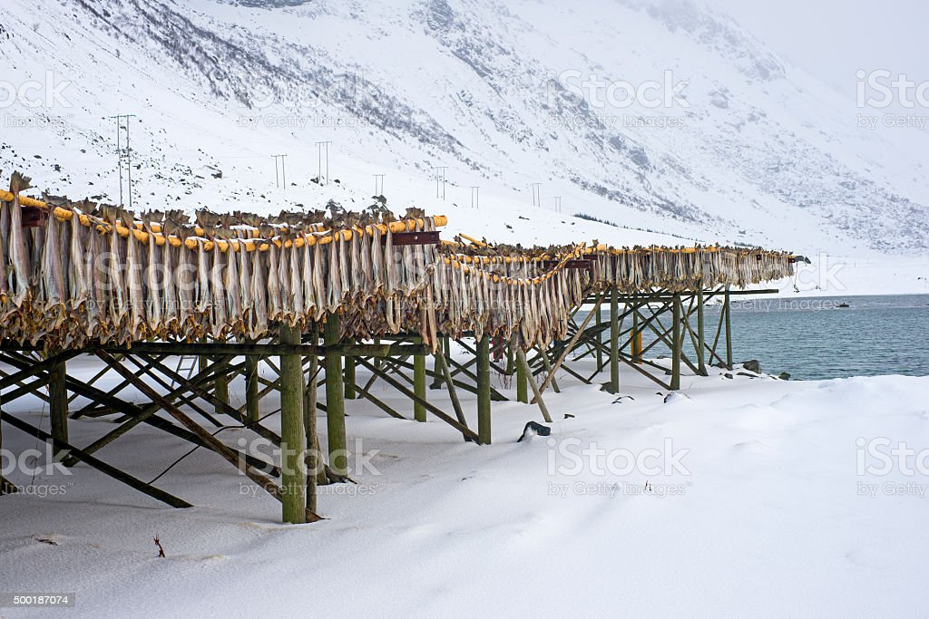 Row of dried cod fish hung outside stock photo