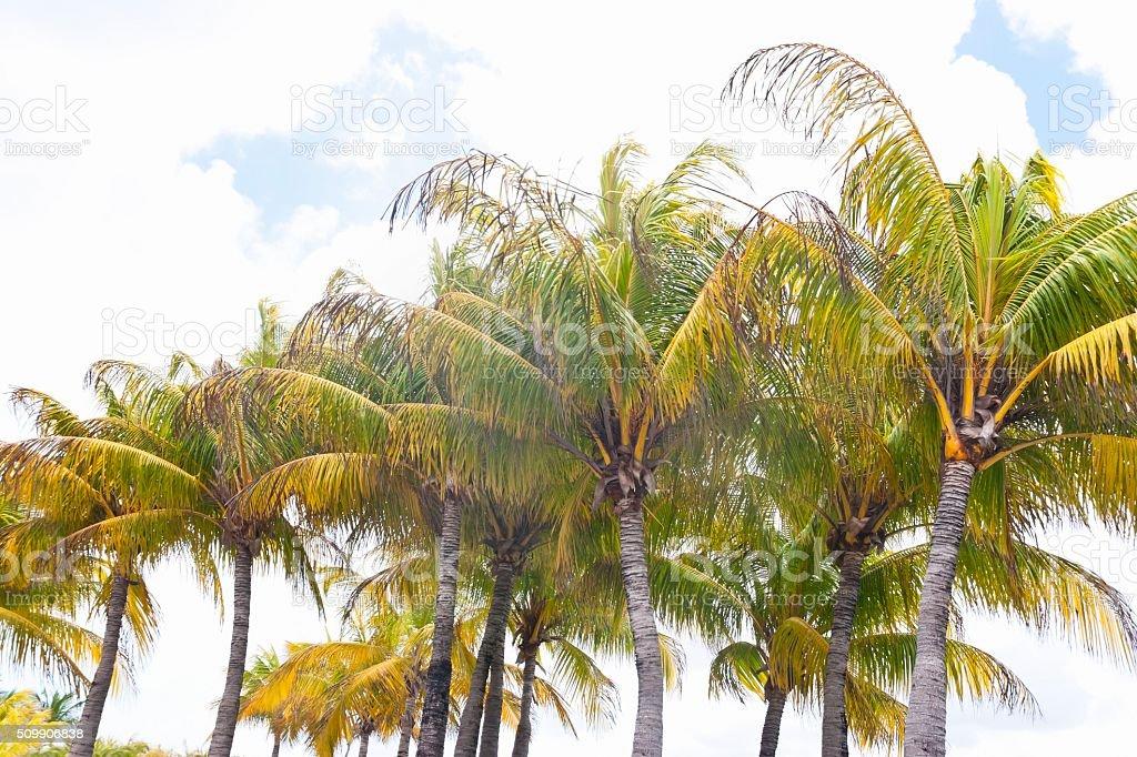 Row of Florida Palm Trees stock photo