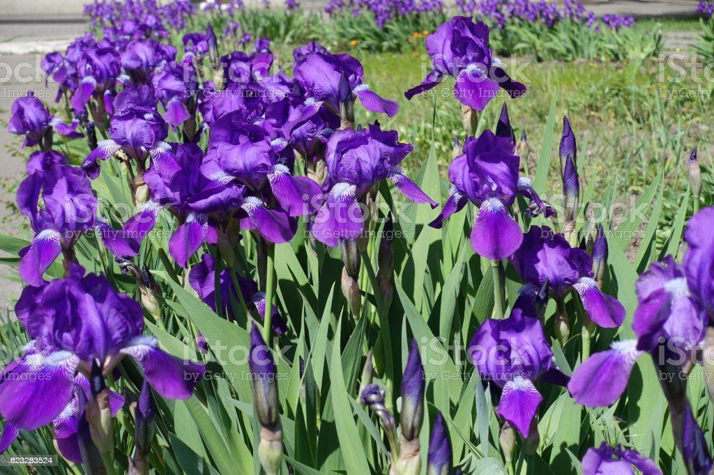 Row of flowering bright violet bearded irises stock photo