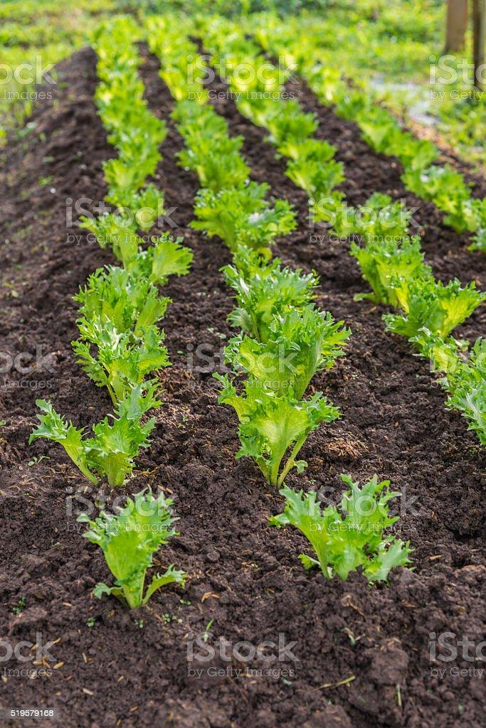 Row of Fresh leave Iceberg lettuce in the Organic farm stock photo