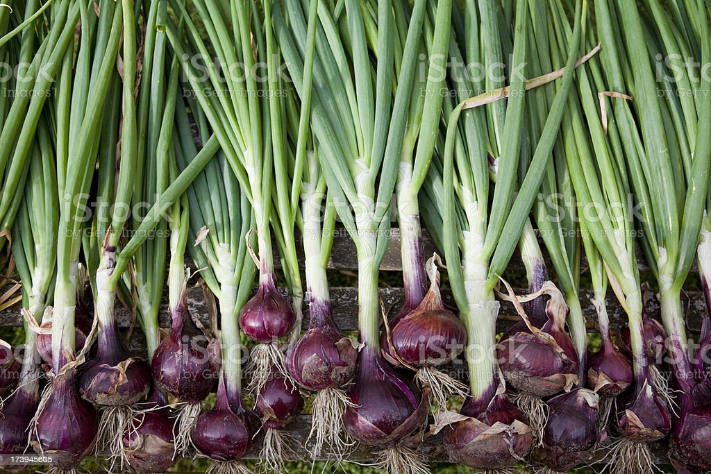 Row of freshly harvested organic red onions stock photo