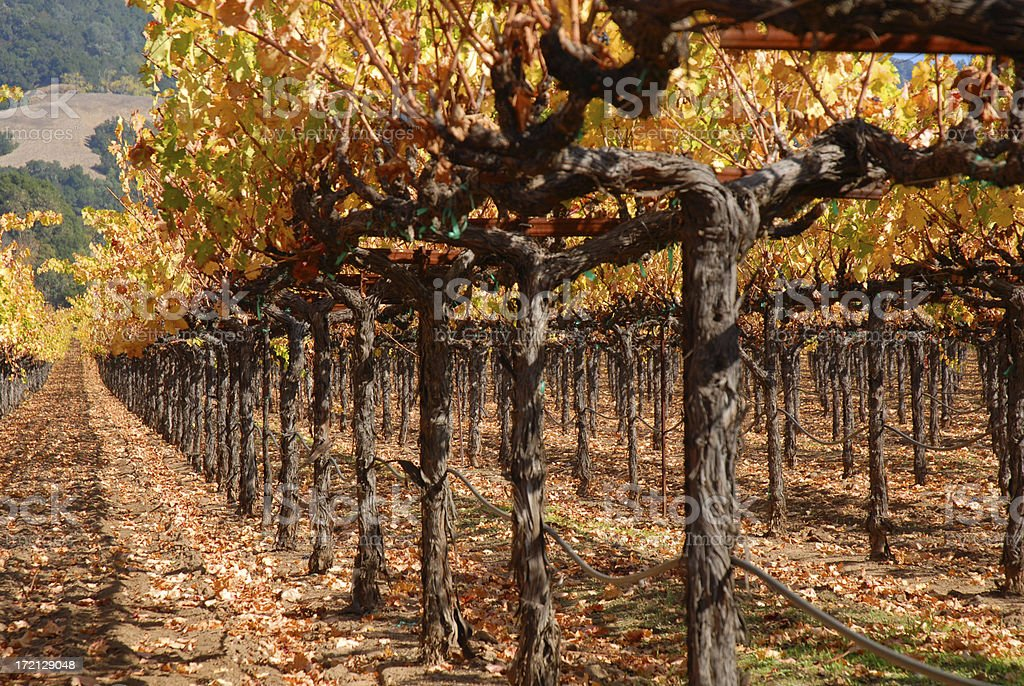 Row of Grape Vines stock photo