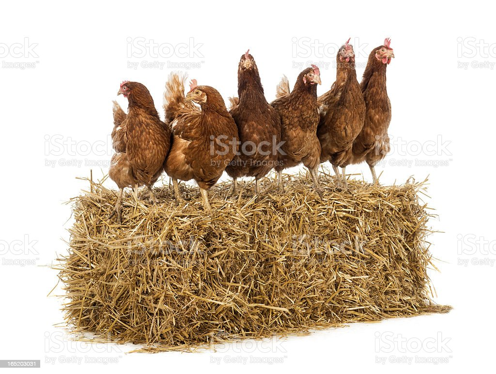 Row of hen standing on a straw bale royalty-free stock photo