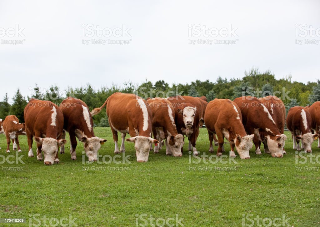 Row of Hereford Cattle Grazing in Pasture royalty-free stock photo