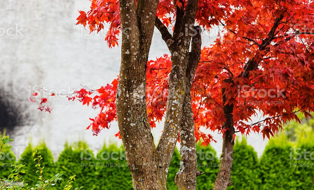 Row of Japanese maple trees  against yellow birch in fall. stock photo