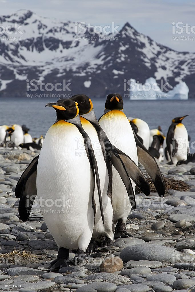 A row of king penguins in icy South Georgia royalty-free stock photo