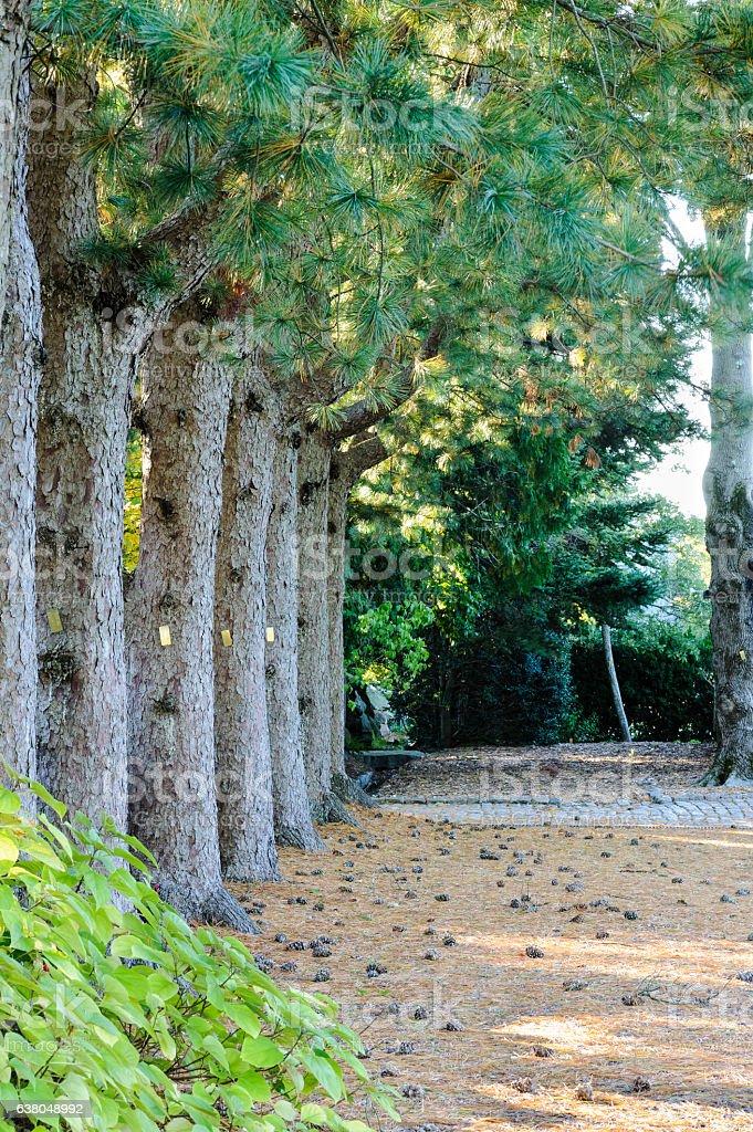 Row of Korean Pines stock photo