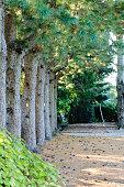 Row of Korean Pines