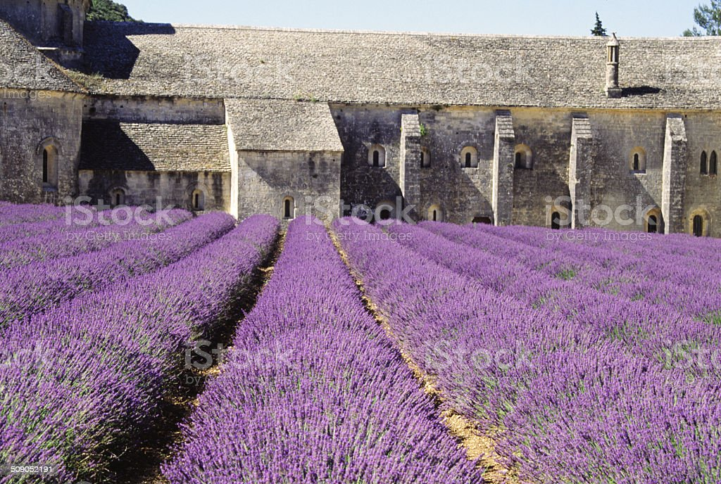 Row of Lavender Ready to Harvest stock photo