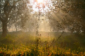 RURAL LANDSCAPE .Row of olive trees at dawn.-ITALY (Apulia)-