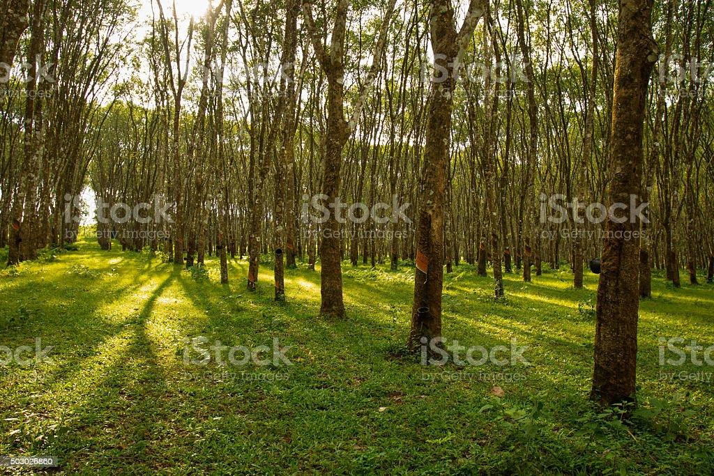 row of para rubber tree stock photo