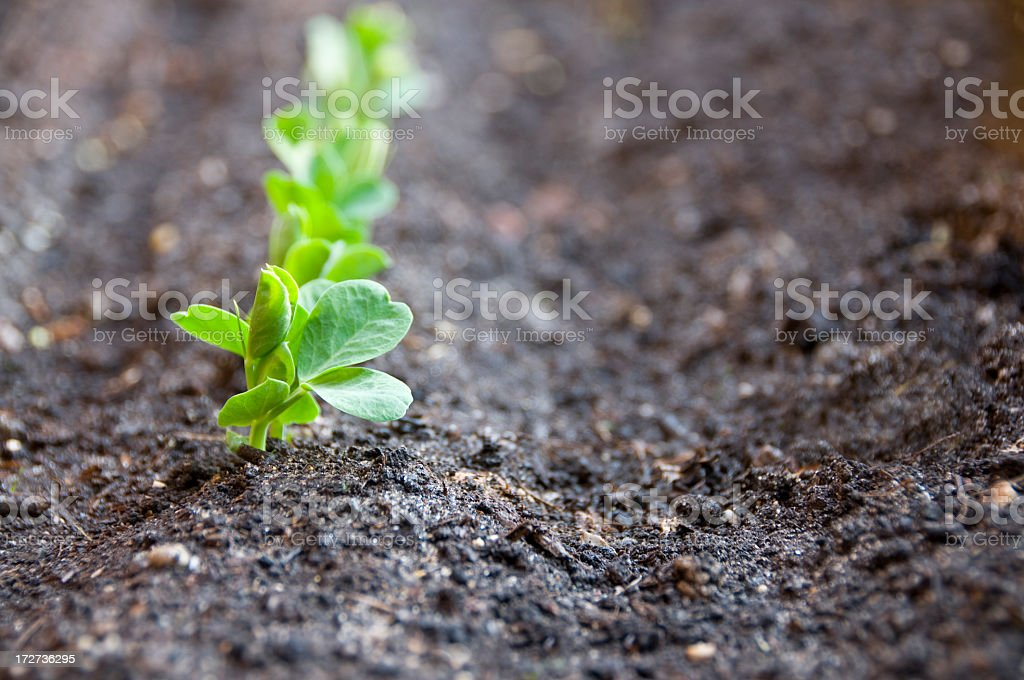 Row of pea seedlings in soil with first seedling in focus stock photo