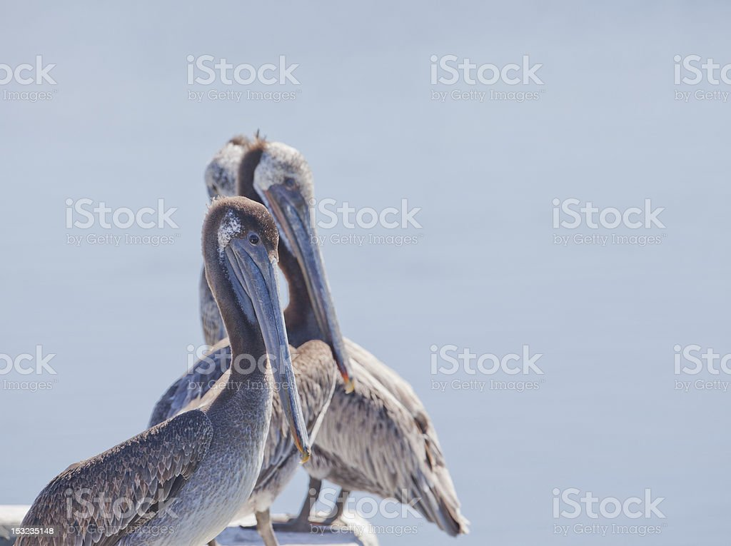 Row Of Pelicans royalty-free stock photo