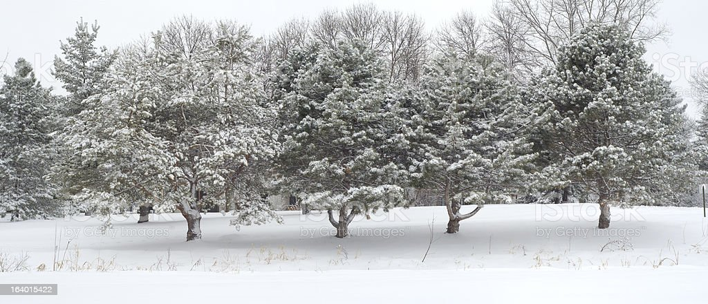 Row of Pine Trees Frosted with Snow royalty-free stock photo