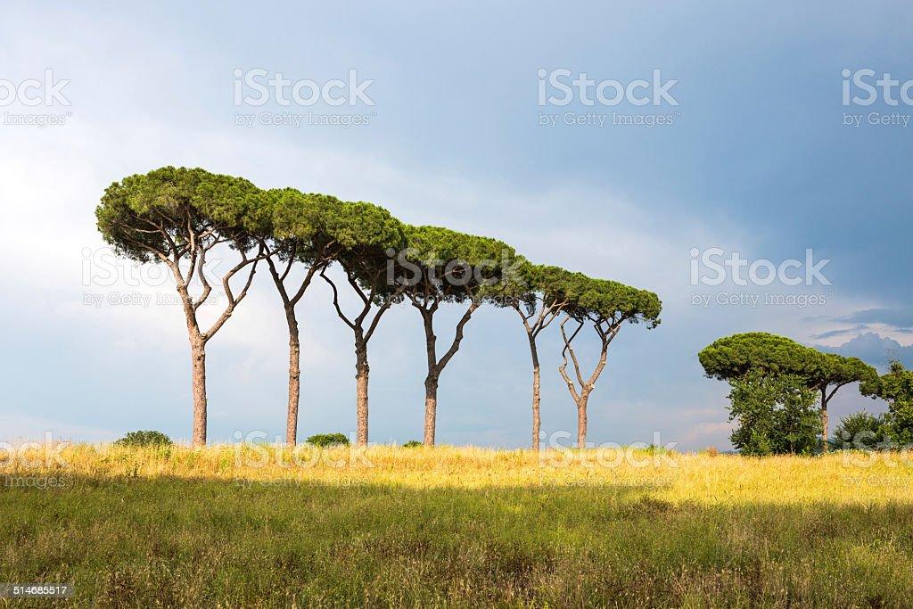 Row of pine trees in Parco degli Acquedotti, Rome Italy stock photo