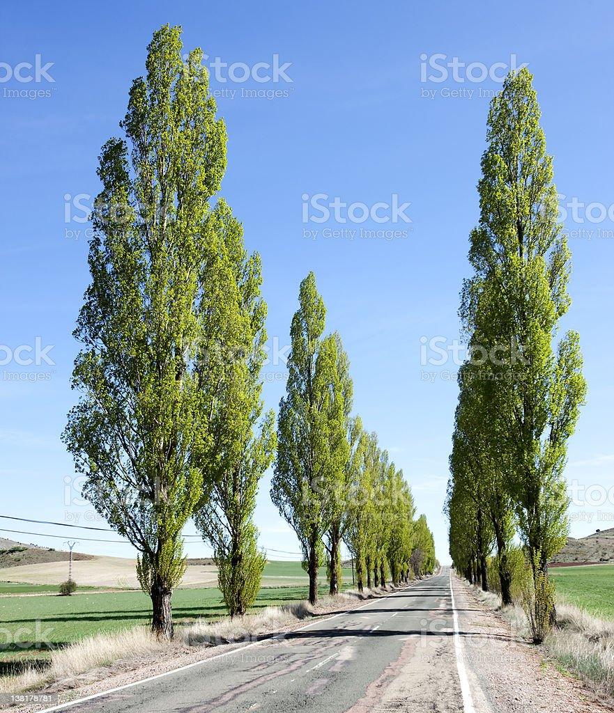 Row of Poplars in Spain royalty-free stock photo