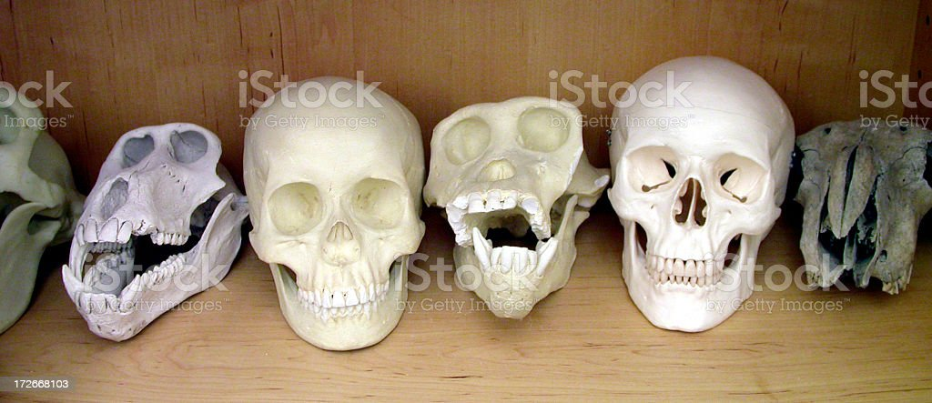 Row of prehuman fossil skulls stock photo