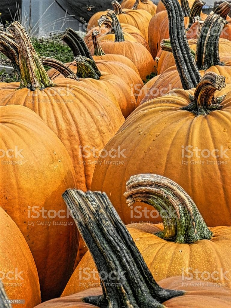 Row of Pumpkins stock photo
